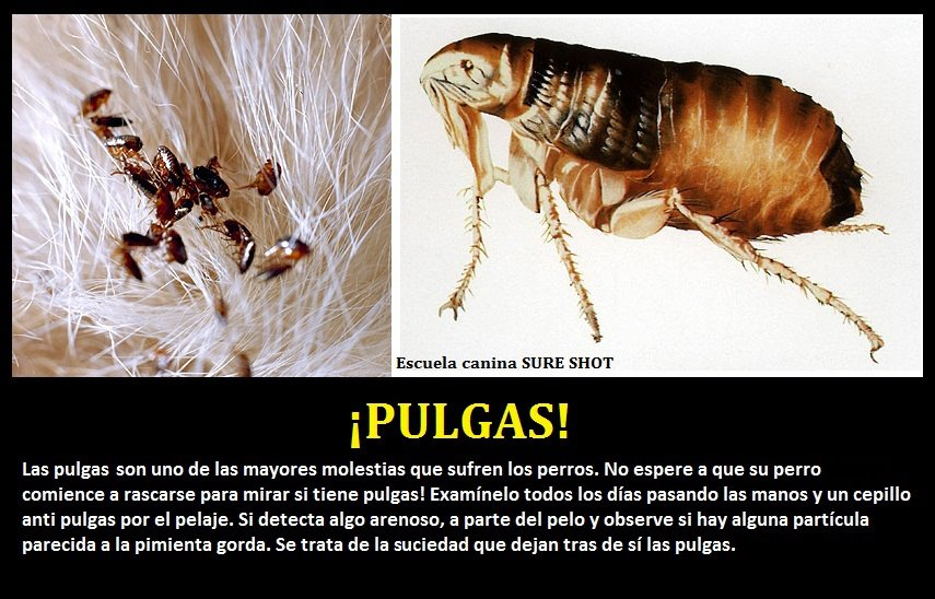 Sobre pulgas adopta un amigo no lo compres - Pulgas en casa ...
