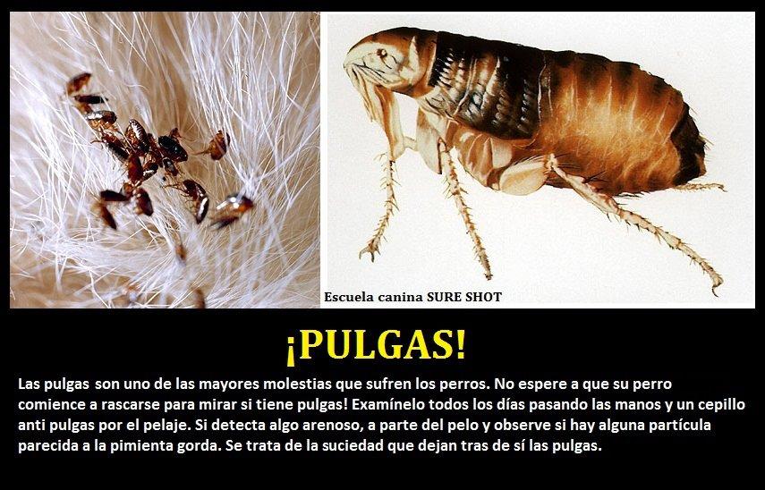 Domestic wild animals mi perro tendra pulgas - Casa de las pulgas ...